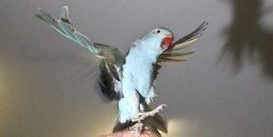 Голубой попугай взлетает