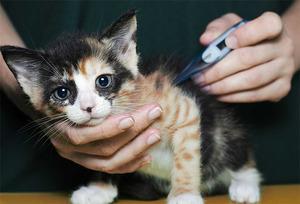 Какой должна быть температура у кошки