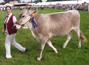 Швицкую корову ведут на поводе