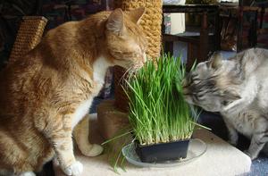 Коты едят траву