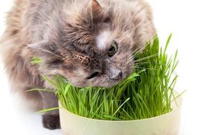 Кошка с удовольствием ест траву