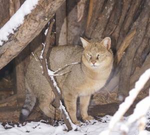 КАМЫШОВЫЙ КОТ ИЛИ БОЛОТНАЯ РЫСЬ хищное млекопитающее из семейства кошачьих