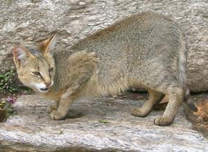 Характер камышовый кот демонстрирует тоже нешуточный