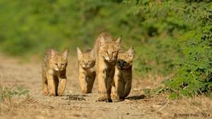 Камышовый кот или тростниковая кошка? Нет, болотная рысь!