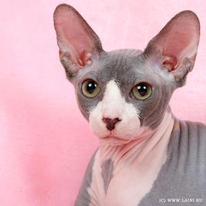 Описание кошки сфинкса