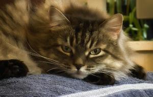 Короновирусная инфекция у кошек