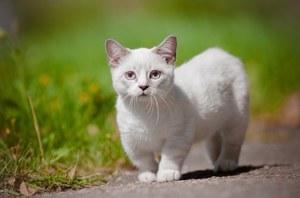 Порода манчкин кошка
