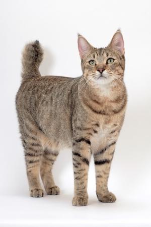 Описание породы кошек пиксибоб