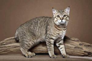Окрас и тип шерсти у кошек пиксибоб