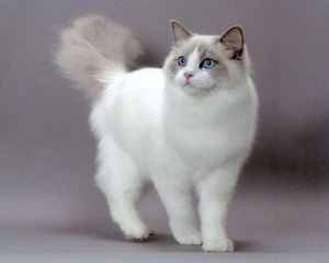 Особенности характера кошек Рэгдолл