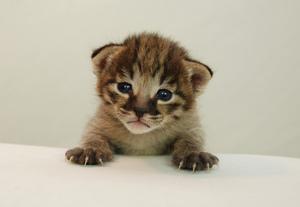 Разведение котов породы саванна