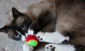 Как произошла порода кошек