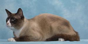 Порода кошек сноу шу