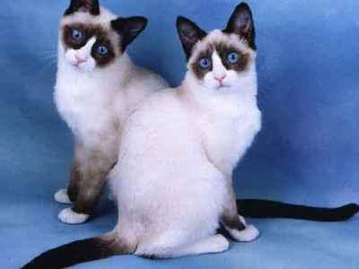 Кошка сноу шу: особенности породы, содержание и уход