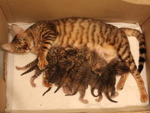 Котята тойгер с мамой