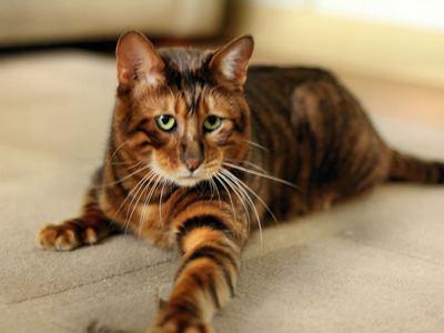 Кошка тойгер: описание породы, уход и содержание