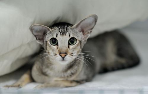 Кто такие ориентальные кошки, и как их содержать