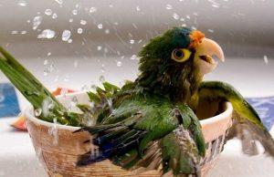 попугай принимает водные процедуры