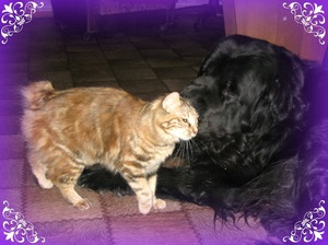 Друзья: курильский бобтейл и собака фото