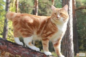 История породы котиков-бобтейлов с Курильских островов