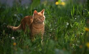Образ жизни европейской дикой кошки