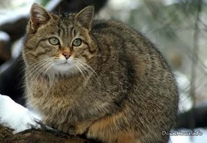 Образ жизни дикой кошки