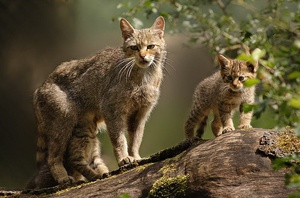 Образ жизни дикой Европейской леснаой кошки