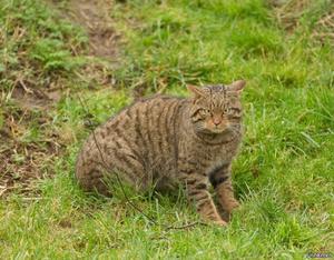 Среда обитания дикого европейского лесного кота