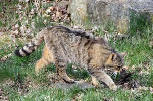 Охота дикого европейского кота
