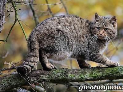 Лесной кот: образ жизни европейской дикой кошки