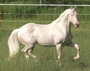 красивая лошадь белой масти