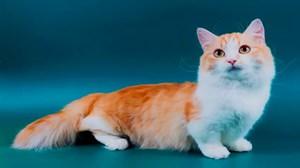 Рыже-белая кошка породы Манчкин