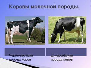 Содержание и откорм молочных пород коров