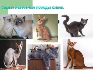Разновидности пород кошек