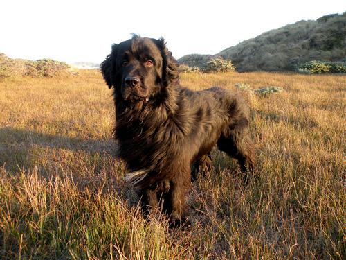 Необычная порода собак ньюфаундленд