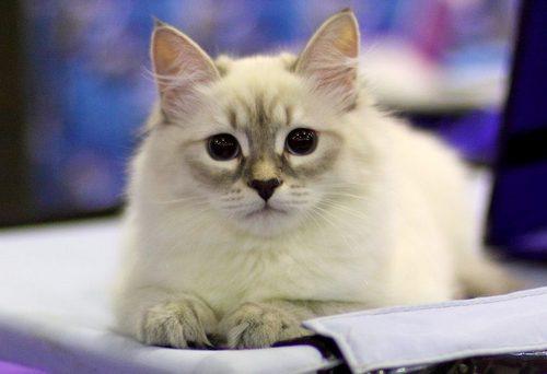 Невская маскарадная кошка: описание породы и правила ухода