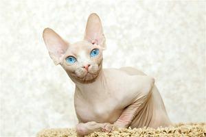 Белый кот породы сфинкс