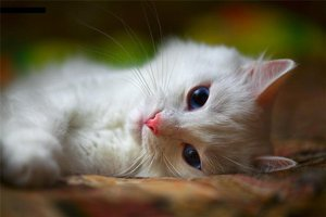 Белая кошка-лентяйка