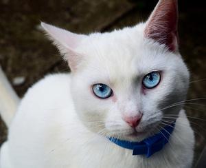 белая кошка с выразительным взглядом