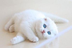 Шотландская вислоухая роскошная белая кошка