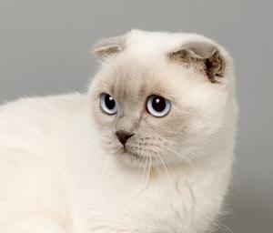 Милая шотландская кошка