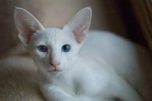белая кошка ориентальной породы