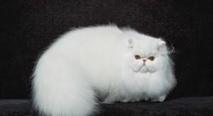 Пушистая персидская кошка