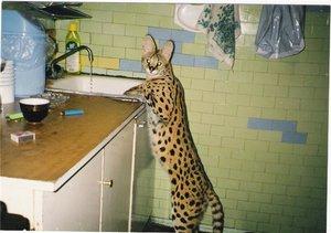 Внешний вид кошек сервал