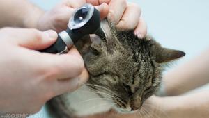 Лечение отита у кошек