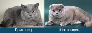 Сравнение котов (британцы и шотландцы)