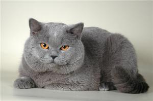 Взрослый британский кот фото