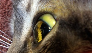 Как проявляется панкреатит у кошек
