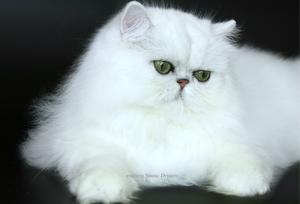 Нрав кошек персидские шиншиллы