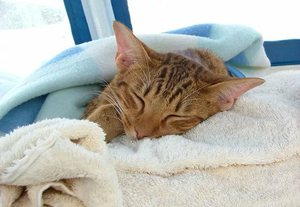 Лечение рвоты у котов